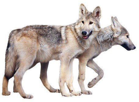 Two standing gray wolves over white background